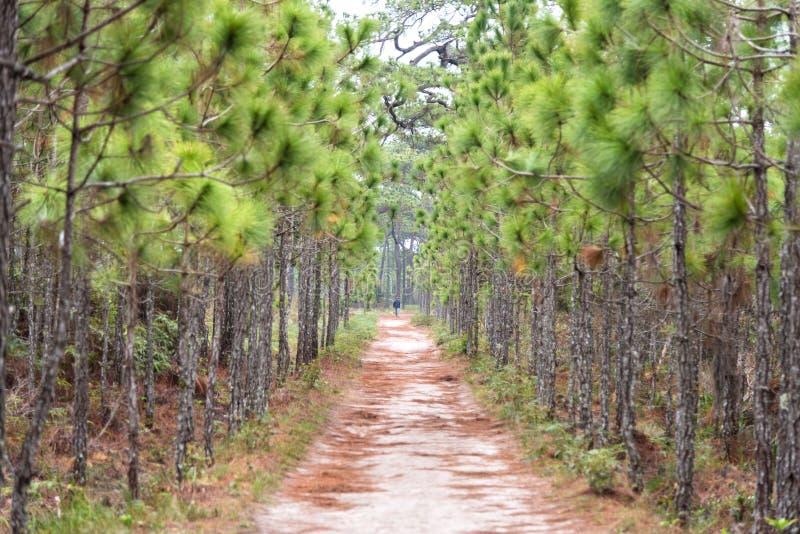 Περιπάτων και ποδηλάτων τρόπων πνεύματος εθνικό πάρκο Phukradung πεύκων δασικό, στοκ φωτογραφία με δικαίωμα ελεύθερης χρήσης