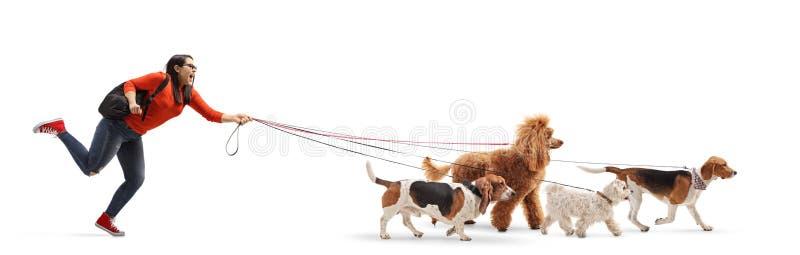Περιπατητής σκυλιών γυναικών σπουδαστών με της Μάλτα poodle, κόκκινο poodle, λαγωνικών και μπασέ ένα σκυλί κυνηγόσκυλων στοκ φωτογραφίες με δικαίωμα ελεύθερης χρήσης