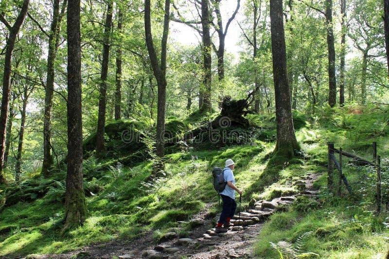 Περιπατητής στα βήματα, μονοπάτι μέσω του δασόβιου ξέφωτου στοκ φωτογραφία με δικαίωμα ελεύθερης χρήσης