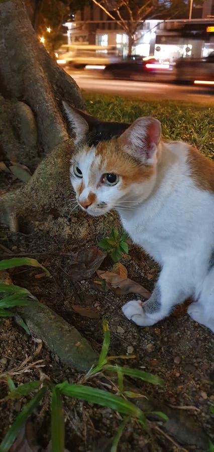 Περιπλανώμενη γάτα της Σιγκαπούρης με μια σοβαρή έκφραση στοκ φωτογραφίες με δικαίωμα ελεύθερης χρήσης