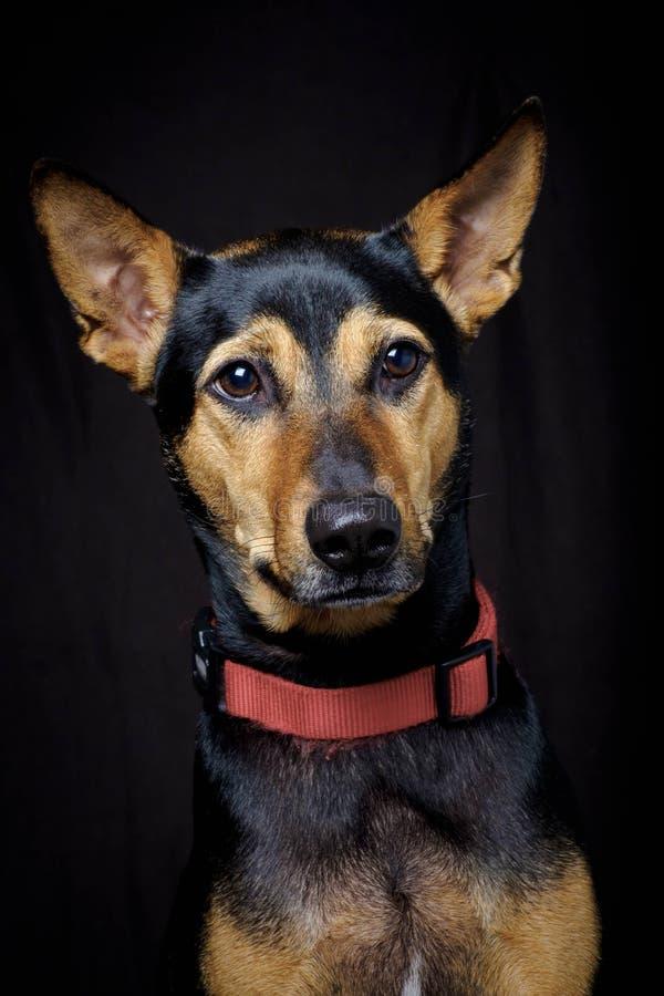 Περιπλανώμενο μιγία διασωθε'ν ταϊλανδικό σκυλί που στηρίζεται το μαλακό μαύρο υπόβαθρο στοκ εικόνα