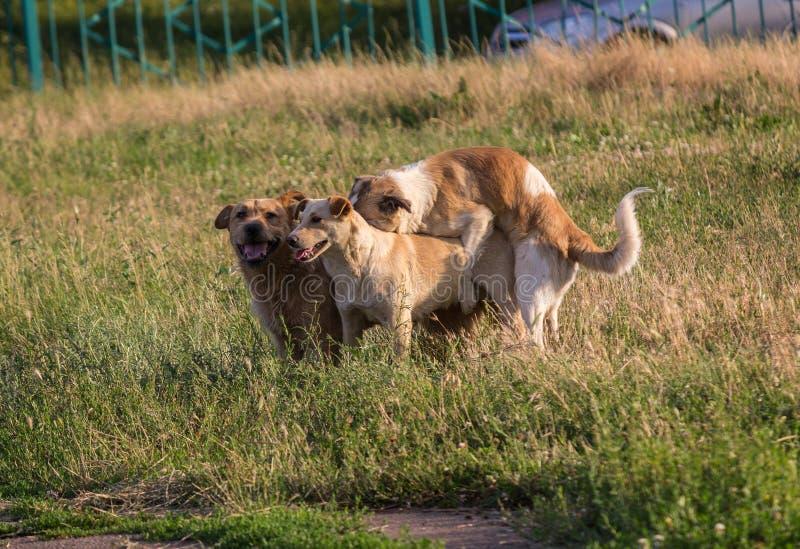 Περιπλανώμενα σκυλιά που ζευγαρώνουν στον πόλης χορτοτάπητα στοκ εικόνες