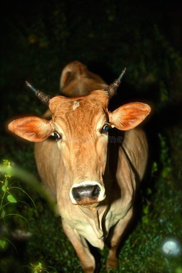 Περιπλανώμενη αγελάδα ή μια έκπληξη νύχτας στοκ φωτογραφίες