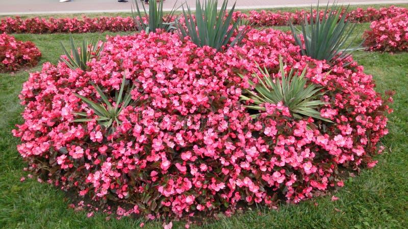 Περισσότερα κόκκινα λουλούδια στοκ εικόνες