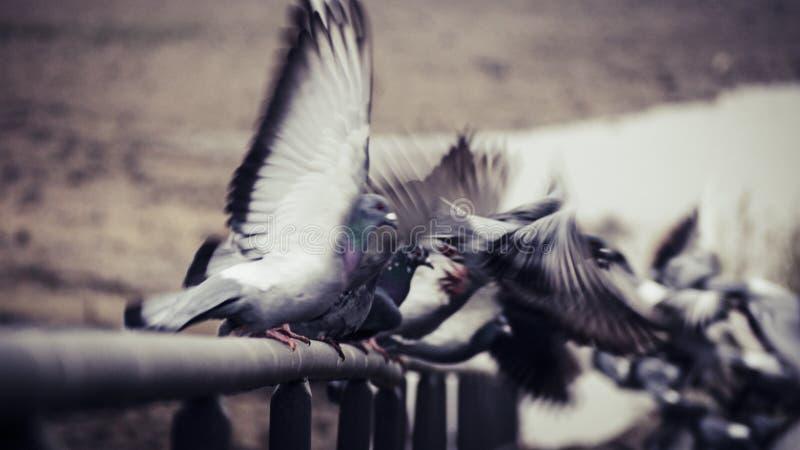 Περιστέρια που απογειώνονται και που πετούν μακρυά από σε ένα κιγκλίδωμα στην κοίτη ποταμού του ποταμού Ρήνος στη Βόννη στοκ φωτογραφία με δικαίωμα ελεύθερης χρήσης