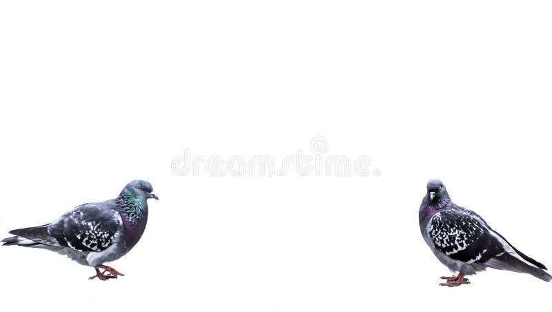 περιστέρια σε ένα άσπρο υπόβαθρο στοκ εικόνες με δικαίωμα ελεύθερης χρήσης