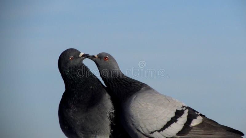 περιστέρια φιλήματος στοκ φωτογραφία με δικαίωμα ελεύθερης χρήσης