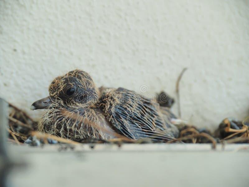 Περιστέρι μωρών που φεύγει στη φωλιά στοκ φωτογραφία με δικαίωμα ελεύθερης χρήσης