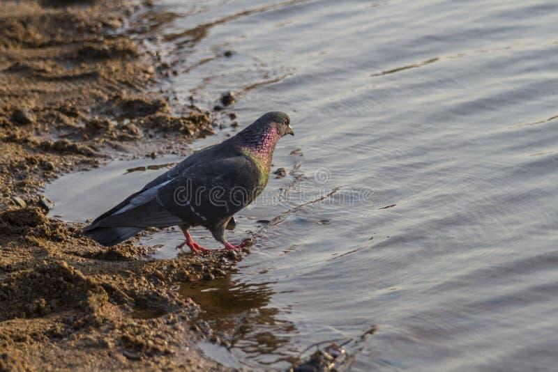 Περιστέρι που περπατά κατά μήκος της ακτής στοκ εικόνα