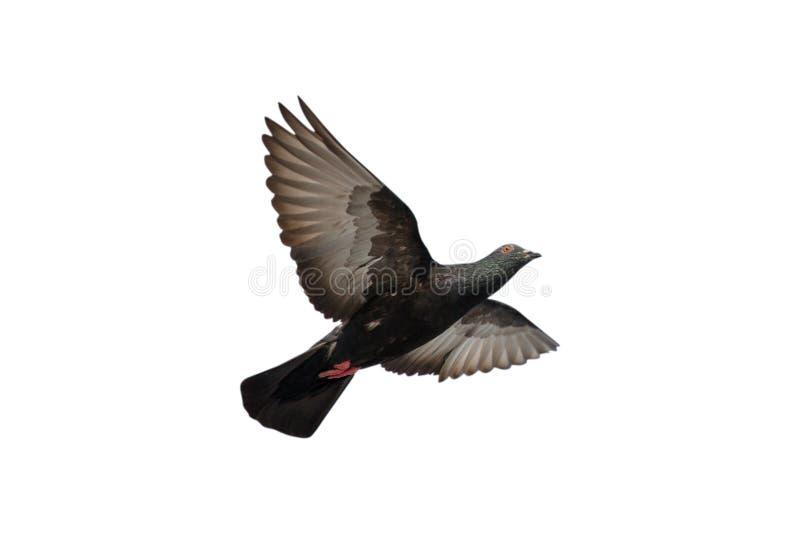 Περιστέρι που πετά στο μπλε ουρανό στοκ φωτογραφίες με δικαίωμα ελεύθερης χρήσης