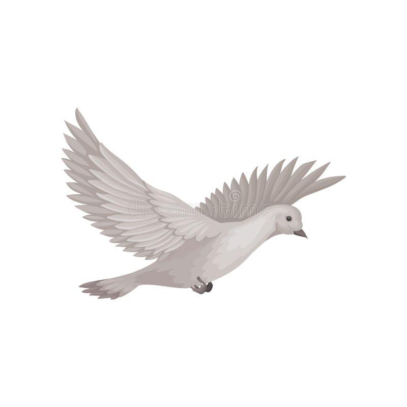 Περιστέρι στο πέταγμα με τα ευρέα ανοικτά φτερά Πουλί με το γκρίζο φτέρωμα Επίπεδο διανυσματικό στοιχείο για το βιβλίο ορνιθολογί διανυσματική απεικόνιση