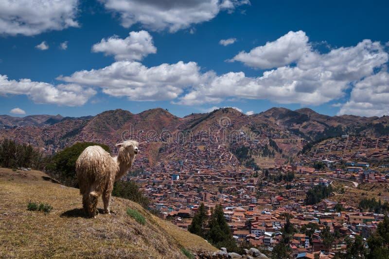 Περουβιανό Llama που στέκεται στο λόφο κοντά σε Cusco στοκ φωτογραφία με δικαίωμα ελεύθερης χρήσης