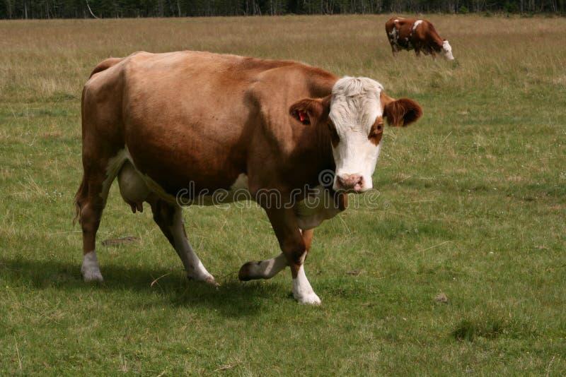 Περπάτημα αγελάδων στοκ εικόνα με δικαίωμα ελεύθερης χρήσης