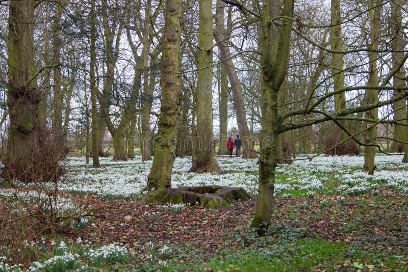 Περπάτημα σε ένα αγγλικό ξύλο με τον τάπητα snowdrop στοκ εικόνες