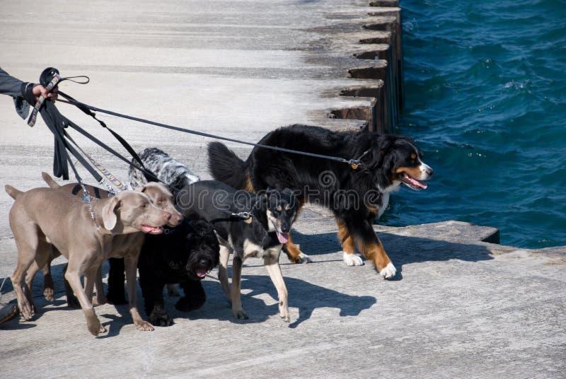περπάτημα σκυλιών στοκ εικόνα