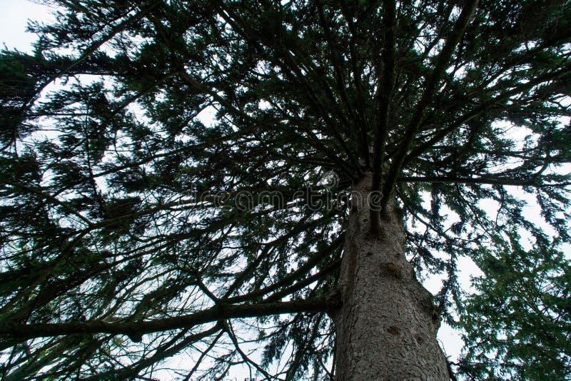 Περπατώντας μέσα σε ένα δάσος έλατου των ψηλών δέντρων την άνοιξη, στοκ εικόνα με δικαίωμα ελεύθερης χρήσης