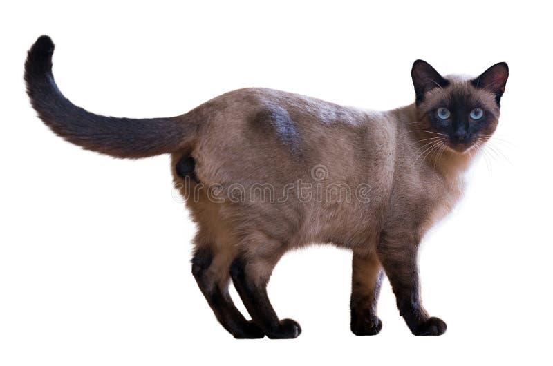 Περπατώντας σιαμέζα γάτα στοκ φωτογραφία με δικαίωμα ελεύθερης χρήσης