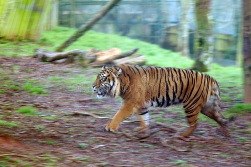 Περπατώντας τίγρη στοκ εικόνα