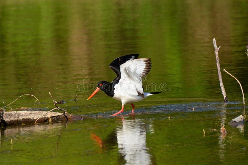 περπατώντας ύδωρ στοκ φωτογραφία με δικαίωμα ελεύθερης χρήσης