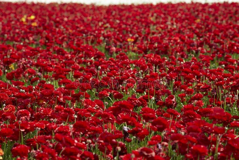 Περσικά ανθίζοντας λουλούδια νεραγκουλών στοκ φωτογραφίες με δικαίωμα ελεύθερης χρήσης