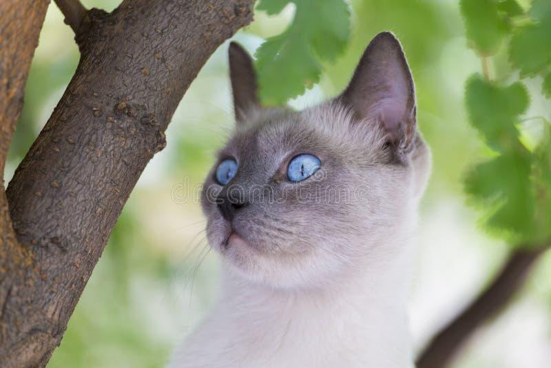 περσική γάτα στοκ εικόνα με δικαίωμα ελεύθερης χρήσης