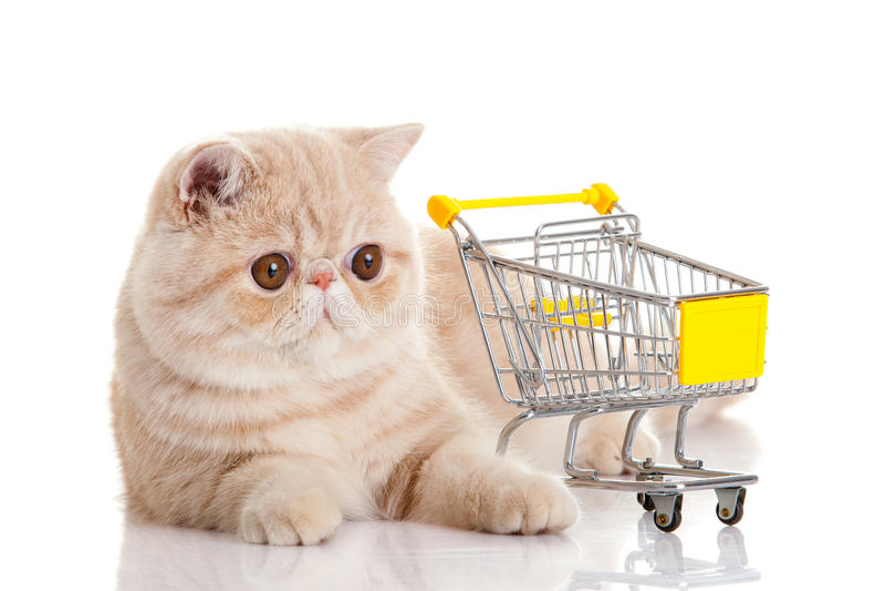 Περσική εξωτική γάτα με το καροτσάκι αγορών που απομονώνεται στο άσπρο υπόβαθρο στοκ εικόνα με δικαίωμα ελεύθερης χρήσης