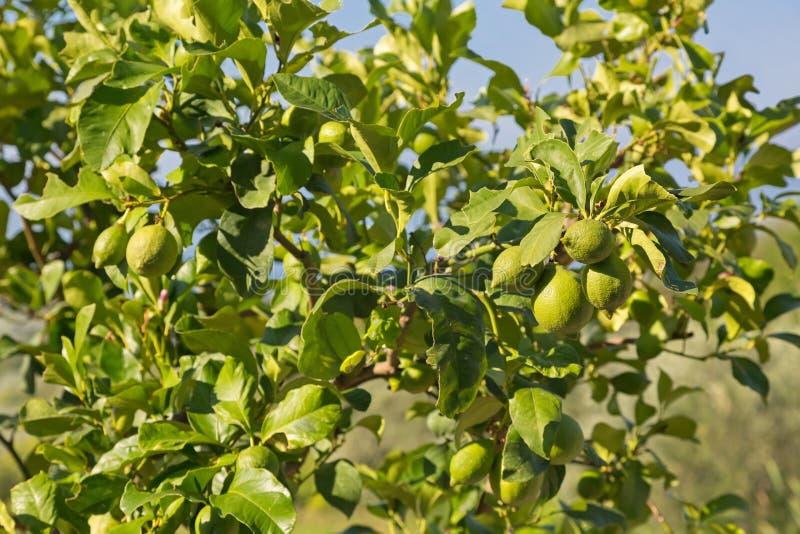 Περσικό δέντρο ασβέστη με την ανάπτυξη φρούτων του στον ισχυρό ήλιο στην Ιταλία στοκ φωτογραφία με δικαίωμα ελεύθερης χρήσης
