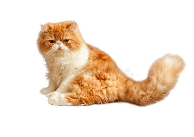 Περσικό γατάκι σπιτιών που απομονώνεται στο άσπρο υπόβαθρο στοκ εικόνες