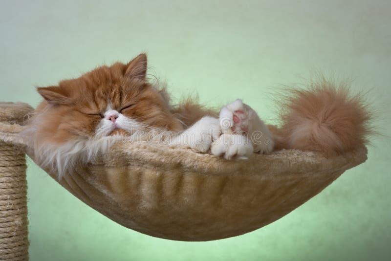 Περσικό γατάκι σπιτιών του κόκκινου και άσπρου χρώματος στοκ εικόνα με δικαίωμα ελεύθερης χρήσης