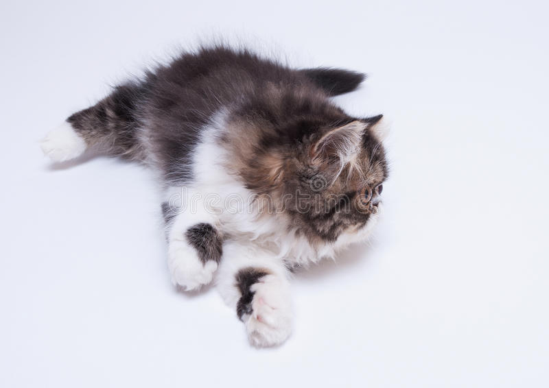 Περσικό γατάκι του σκοτεινού χρωματισμού στοκ εικόνα