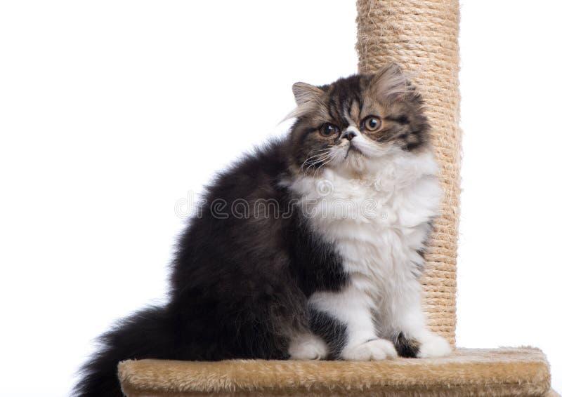 Περσικό γατάκι του σκοτεινού χρωματισμού στοκ φωτογραφία