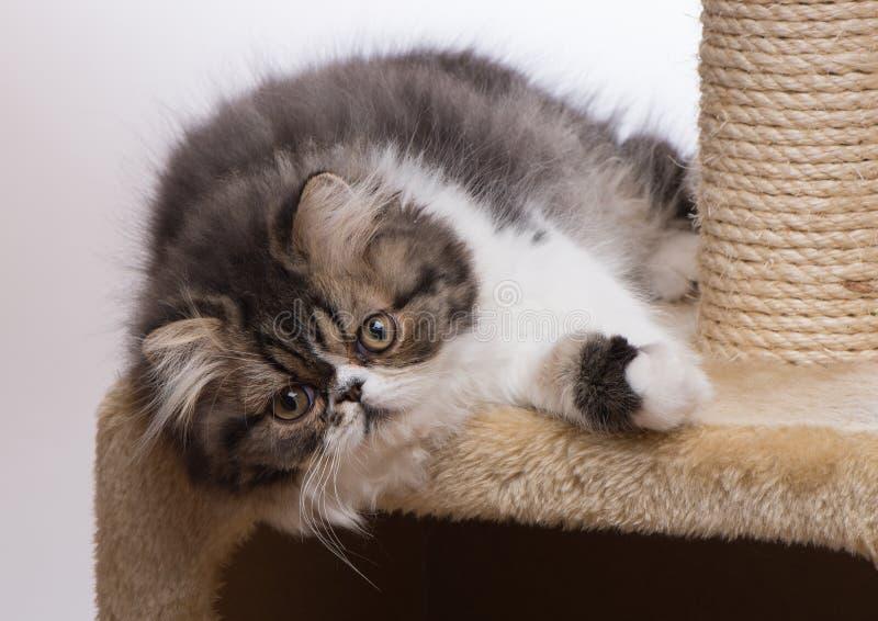 Περσικό γατάκι του σκοτεινού χρωματισμού στοκ εικόνες