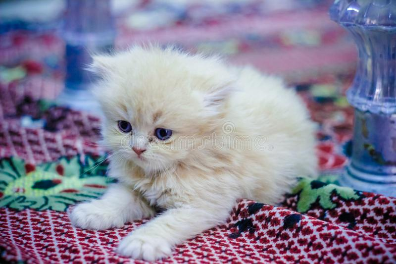 Περσικό μωρό γατών στοκ εικόνα
