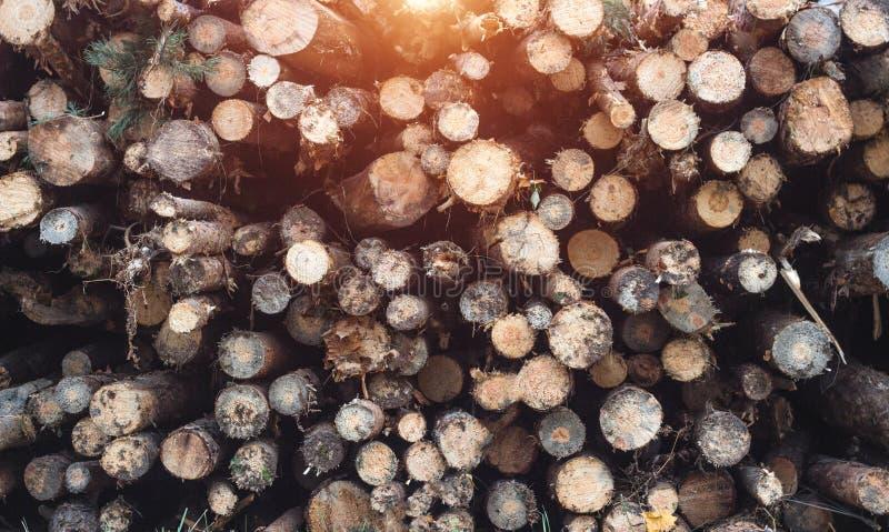 Πεσμένα άρρωστα δέντρα από τον κάνθαρο φλοιών, που παλεύει το δασικό παράσιτο με τον κάνθαρο φλοιών στοκ φωτογραφία