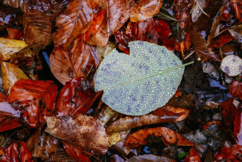 Πεσμένα δρύινα φύλλα με τη δροσιά Δρύινα φύλλα φθινοπώρου πτώσεις νερού στη δρύινη κινηματογράφηση σε πρώτο πλάνο φύλλων πτώσης στοκ φωτογραφία