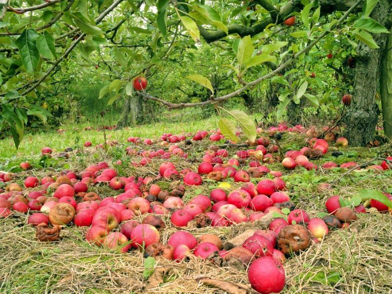 Πεσμένα κόκκινα μήλα στη χλόη κάτω από το δέντρο σε έναν κήπο στοκ εικόνα