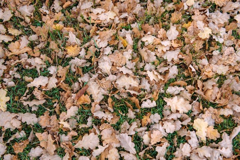 Πεσμένα φύλλα της βαλανιδιάς στην πράσινη χλόη Τάπητας των πεσμένων φύλλων φθινοπώρου, έννοια υποβάθρου στοκ φωτογραφίες