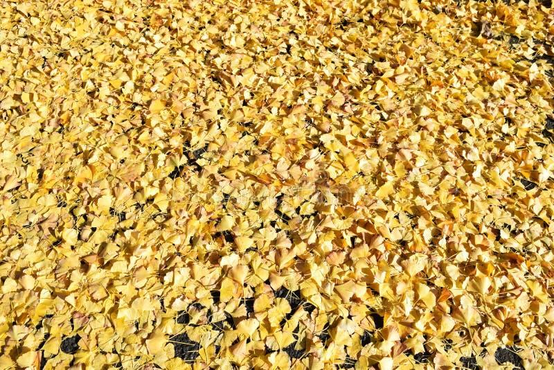 Πεσμένα φύλλα του biloba ginkgo στοκ εικόνες
