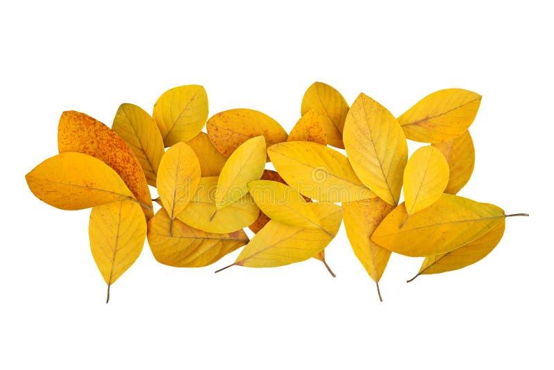 Πεσμένα χρυσά κίτρινα φύλλα από το δάσος που απομονώνεται στο άσπρο υπόβαθρο για το μεταβαλλόμενο σχέδιο χρώματος φθινοπώρου στοκ εικόνα με δικαίωμα ελεύθερης χρήσης
