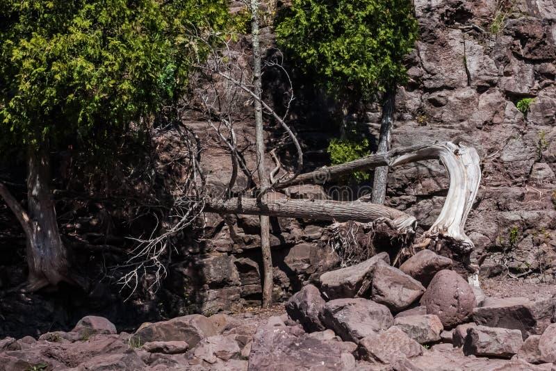 Πεσμένες πτώσεις ριβησίων δέντρων στοκ εικόνες