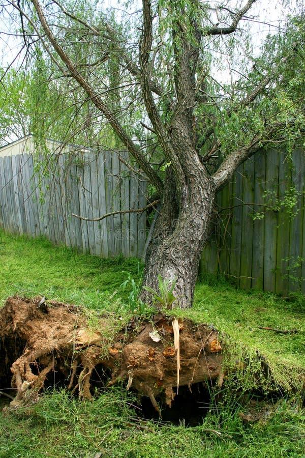 Download πεσμένη ιτιά δέντρων στοκ εικόνες. εικόνα από δέντρο, θύελλα - 106610