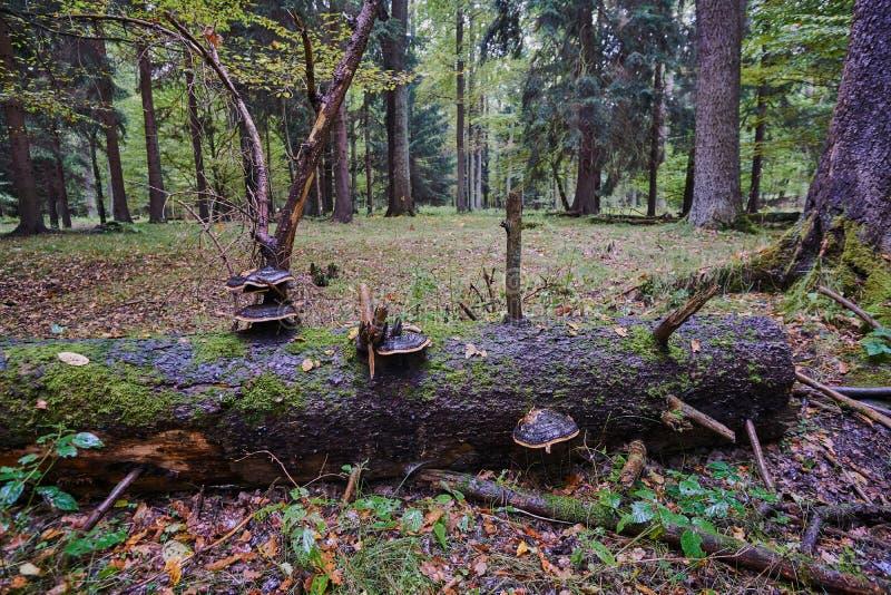 Πεσμένη κορμός πλήμνη δέντρων στα ξύλα στοκ εικόνα