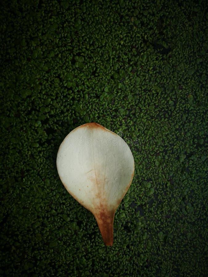 Πεσμένο πεντάλι magnolia που επιπλέει στον ποταμό στοκ εικόνες