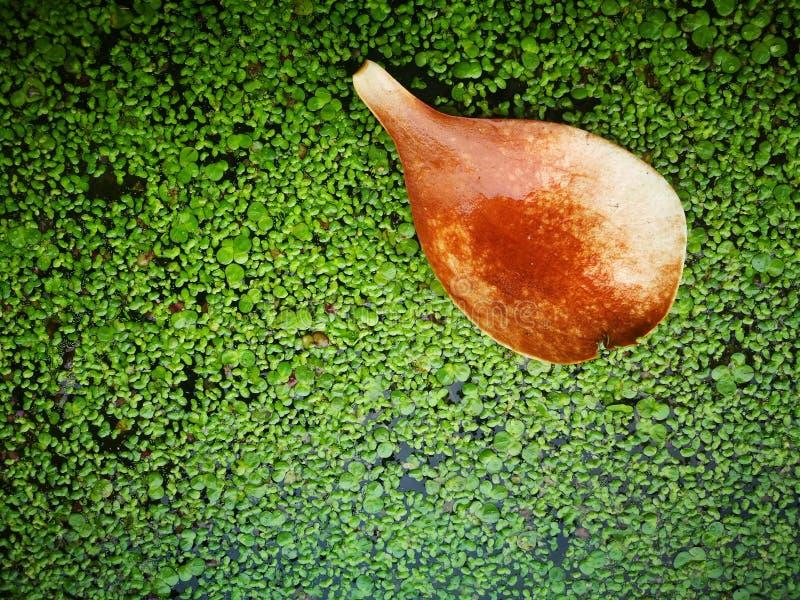 Πεσμένο πεντάλι magnolia που επιπλέει στον ποταμό στοκ φωτογραφία με δικαίωμα ελεύθερης χρήσης