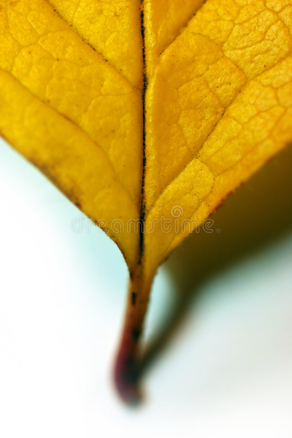 Download πεσμένο φύλλο στοκ εικόνα. εικόνα από χρυσός, γηράσκων - 1525569