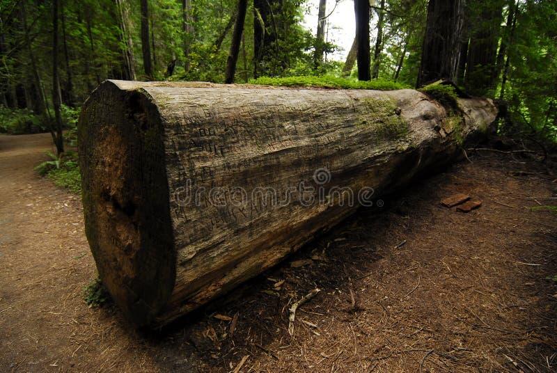 Πεσμένο Redwood στοκ εικόνες