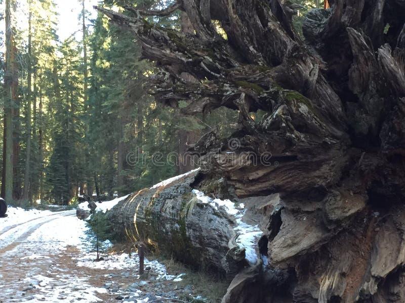 Πεσμένο Redwood στοκ φωτογραφία