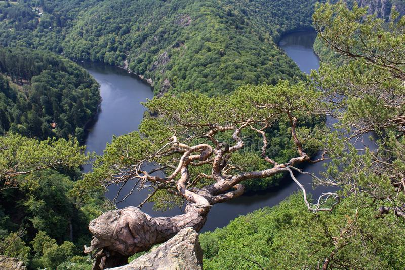 Πεταλοειδής μαίανδρος Maj, πλεονεκτική θέση ποταμών Vltava με το δέντρο πεύκων στοκ εικόνα με δικαίωμα ελεύθερης χρήσης