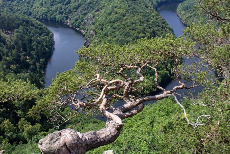 Πεταλοειδής μαίανδρος Maj, πλεονεκτική θέση ποταμών Vltava με το δέντρο, Cze στοκ εικόνα με δικαίωμα ελεύθερης χρήσης