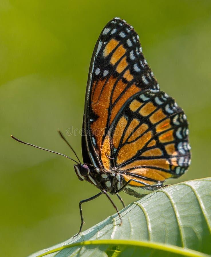 Πεταλούδα αντιβασιλέων στοκ φωτογραφία με δικαίωμα ελεύθερης χρήσης